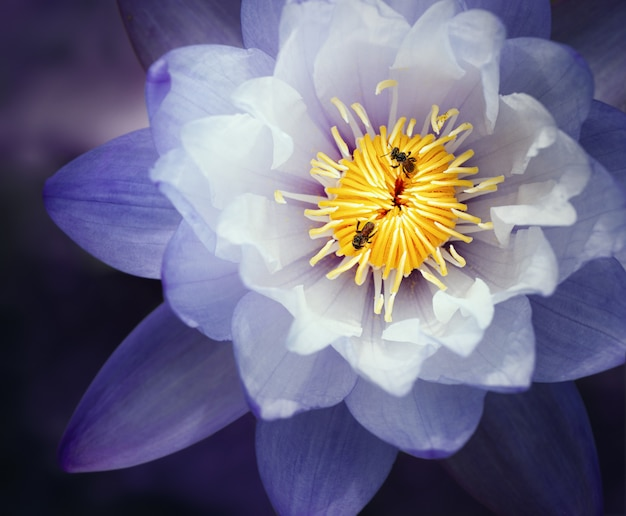 美しい紫色のスイレンの花(ハスの花)、正方形の形式。