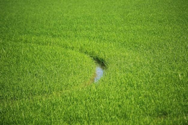 Рисовое поле.