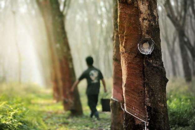 Рабочий выстукивает молочный латекс с дерева, на плантации в юго-восточной азии