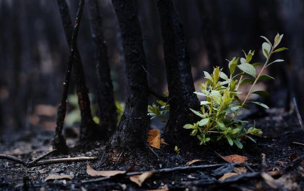 森林が燃やされた後に成長した新しい葉。火災後の自然の再生。地球温暖化/生態学の概念。
