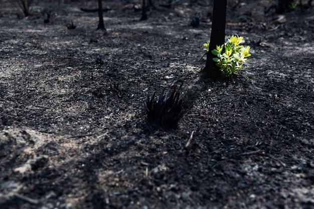 森林火災の後、焼けた木から新しい葉が飛び出した。火災後の自然の再生。生態学の概念の背景。