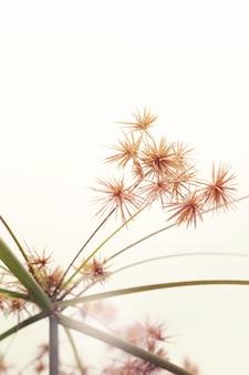 白い背景の上のスゲの花