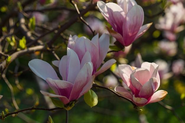 植物園のコンセプトです。マグノリアの枝。マグノリアの花。マグノリアの花の背景をクローズアップ。優しい花。花の背景。香りと香り。春のシーズン。植物学とガーデニング