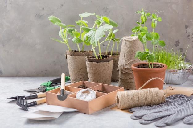 ガーデニング農業。キュウリとナシの苗に泥炭土と園芸工具を散布したもの。コンクリート表面で成長するために設定します。