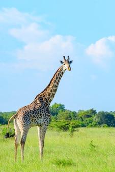 アフリカのサファリでキリン