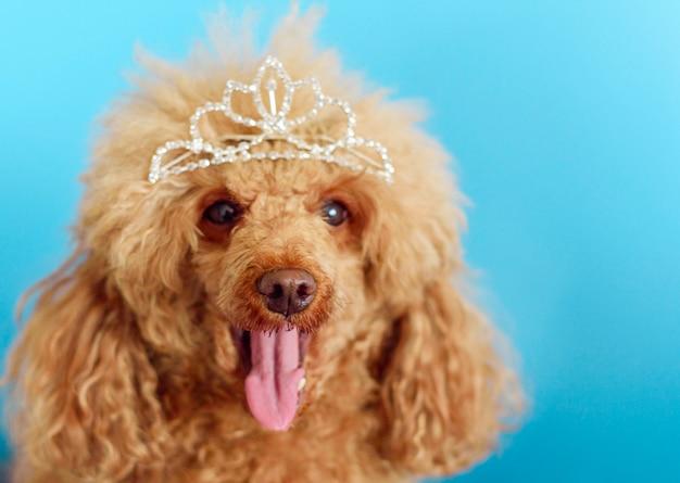 王冠の青色の背景に幸せな面白いプードル犬