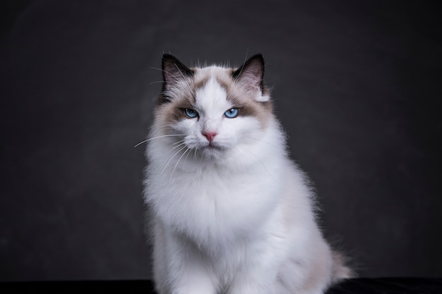 Рэгдолл кот с холодными глазами