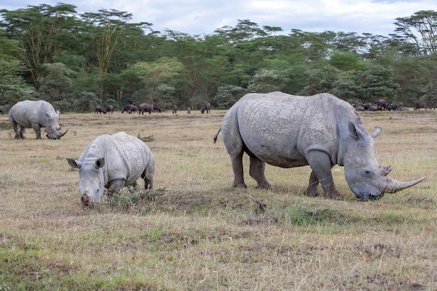 Сафари - носороги на траве