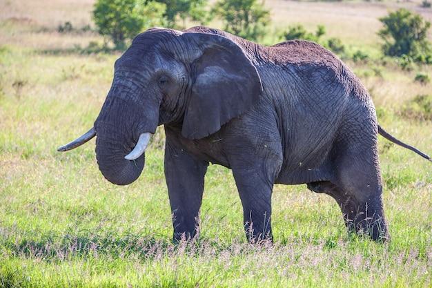 Семья слонов гуляет в саванне