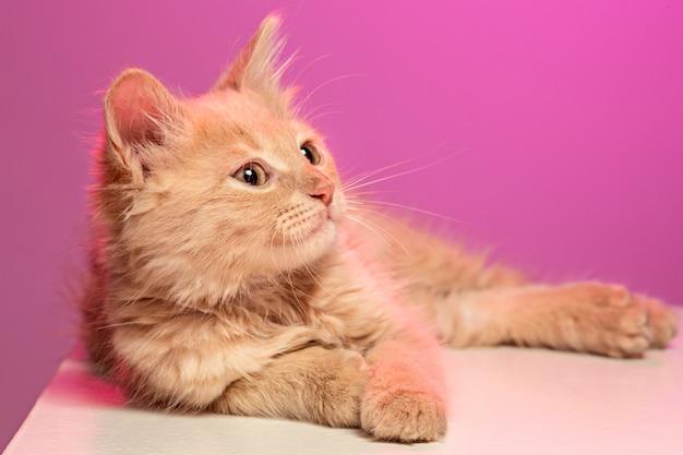 ピンクのスタジオの赤または白の猫
