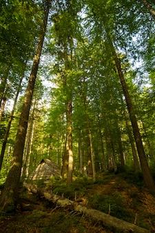 ウクライナのカルパティア山脈の美しい緑の松の木