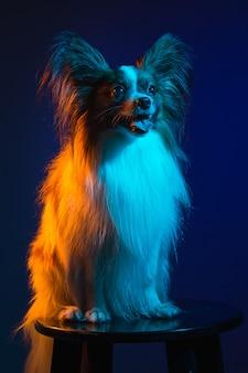 小さなあくび子犬パピヨンのスタジオポートレート