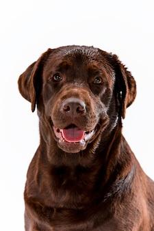 茶色のラブラドル・レトリーバー犬のポーズ
