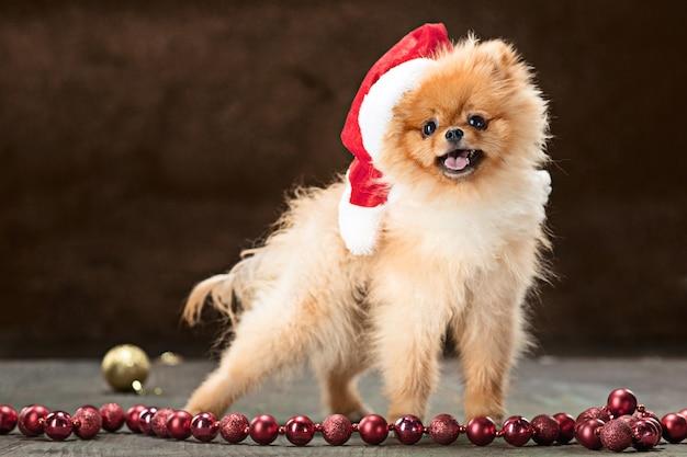 サンタ帽子のスピッツ犬