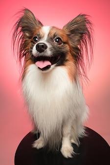 Портрет маленького зевая щенка папийона