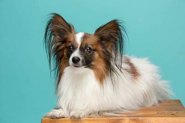小さなあくびの子犬パピヨンの肖像画