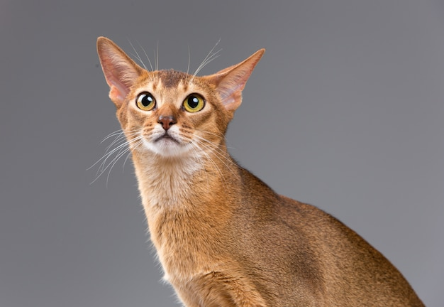 純血種のアビシニアンの若い猫の肖像画
