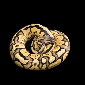 Женский бал питон. светлячок морф или мутация