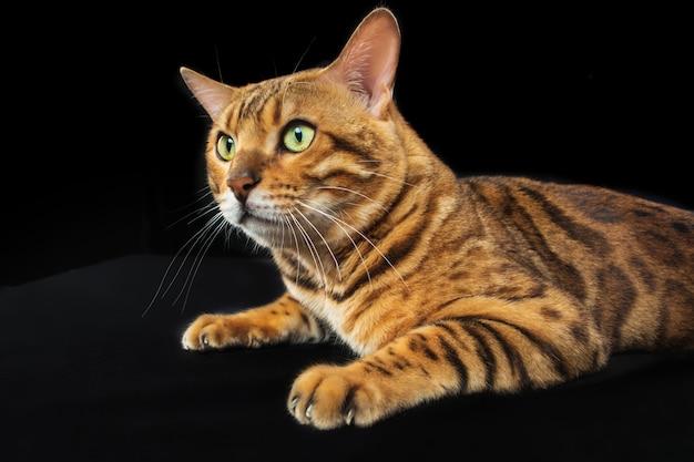 Золотой бенгальский кот на черной стене