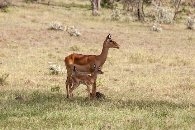 Антилопа и ее детеныш на равнинах