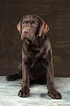 暗い背景で撮影された黒いラブラドール犬の肖像画。