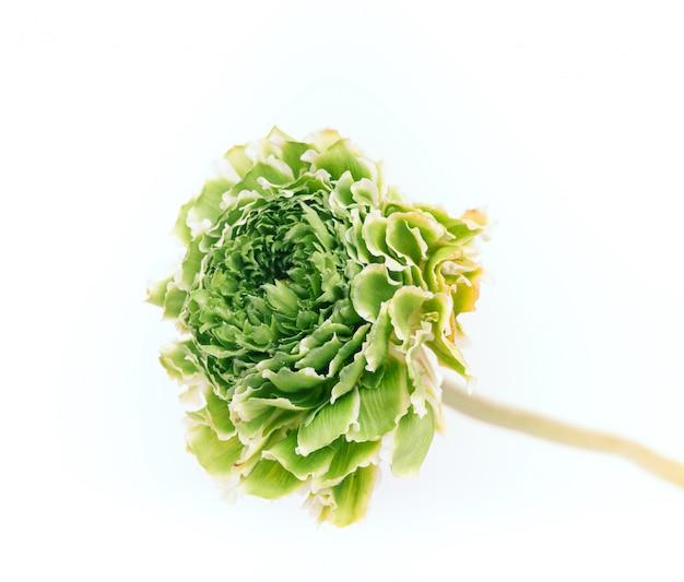 Ранункулюс зеленый цветок на белом