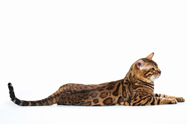 Золотой бенгальский кот на белом фоне