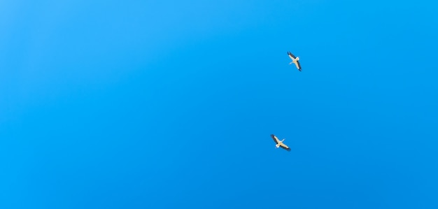 Пары летания аиста в голубом небе. баннер с копией пространства