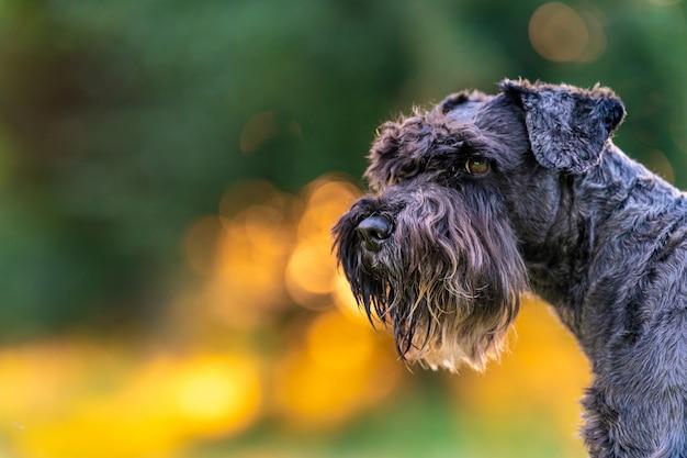 公園で夕暮れ時の黒いシュナウザー犬の肖像画。コピースペース