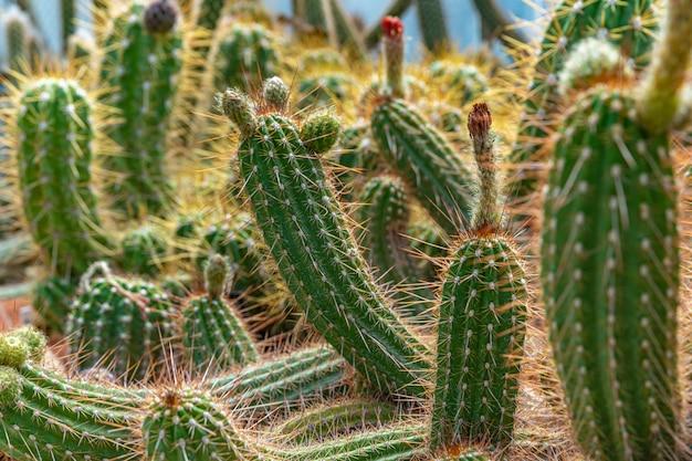 植物園の温室にあるトリコセレウスマクロゴナス