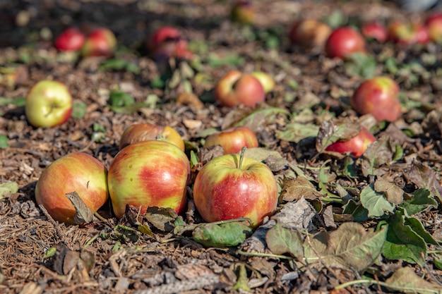 Красные яблоки упали с дерева на землю в саду