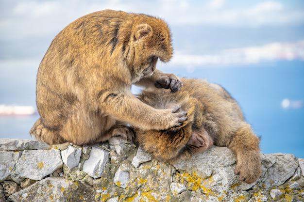 Самка обезьяны копается в мехе самца