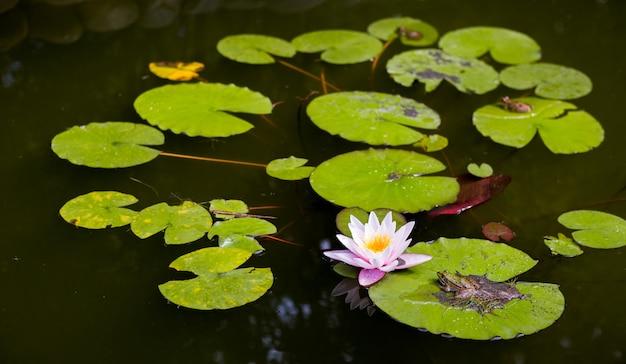 暗い水にスイレンの花が咲く湖。美しいピンクの睡蓮、花が咲く