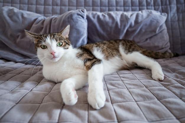 Сладкий кот лежит на диване у себя дома и смотрит в камеру, концепция домашнего комфорта, крытый.