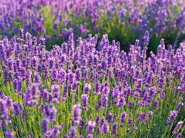 Крупный план кустов лаванды на заходе солнца. закат поблескивает над фиолетовыми цветами лаванды.