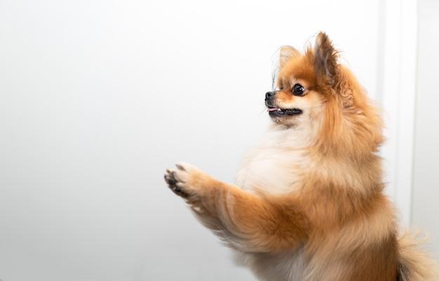 よく訓練されたポンポン犬が彼の足の上に立つ