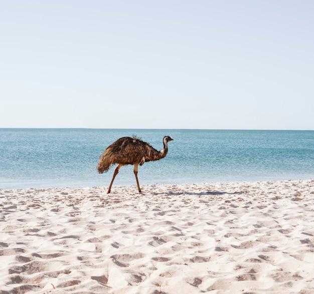 オーストラリアのビーチでエミュー