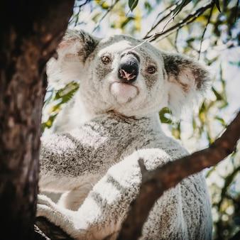 その自然の生息地で愛らしいオーストラリアのコアラ