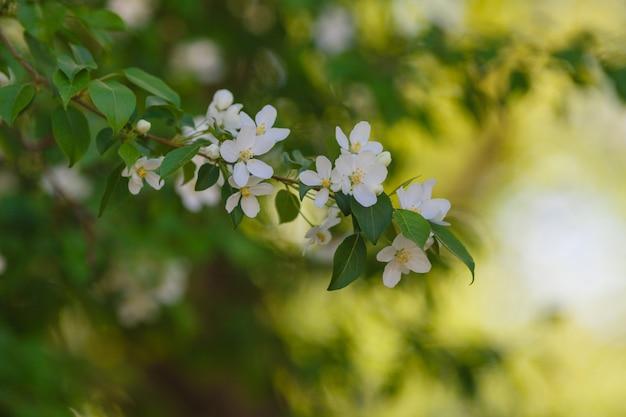 リンゴの木の美しい開花枝