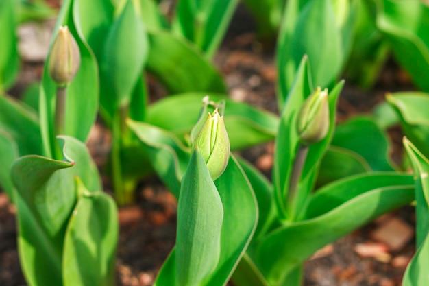 Молодые не цветущие тюльпаны. крупный план