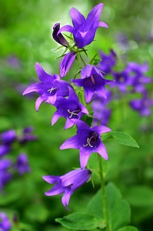 Цветок колокольчика