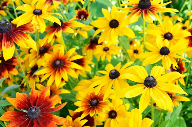 Рудбекия цветы