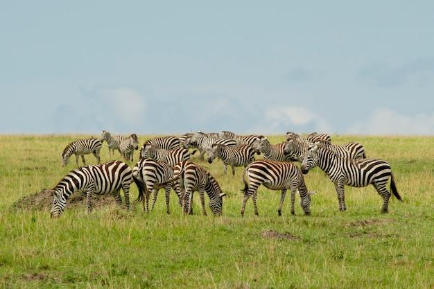 Группа зебр в саванне