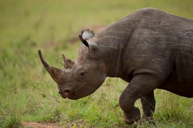 Портрет черного носорога
