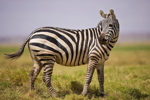 Зебра стоя