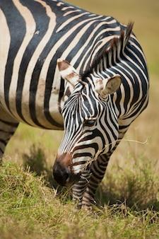 Зебра пасется