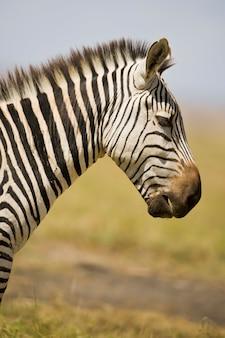 Зебра в профиле