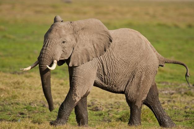 Ходьба слона