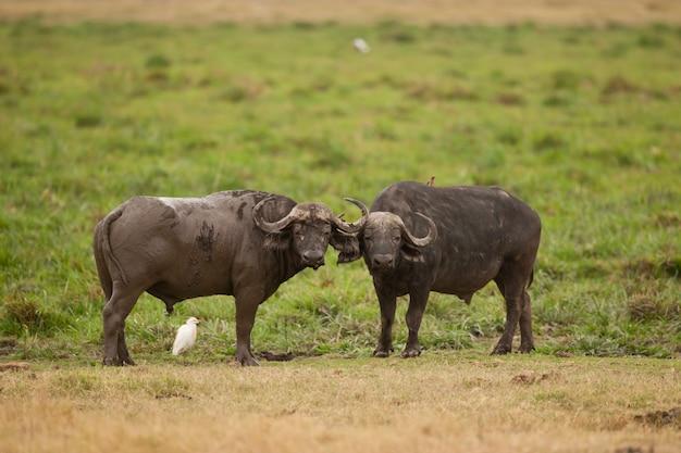 Два буйвола в саванне