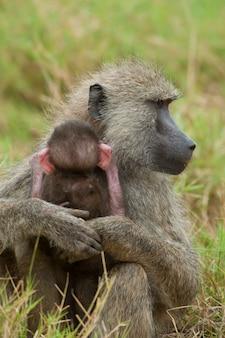 Оливковый бабуин защищает своего детеныша